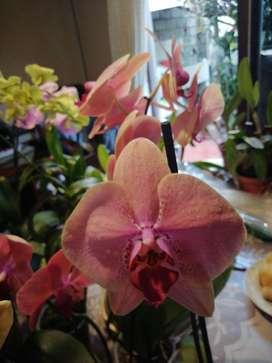 Venta de Plantas Orquídeas para Regalo