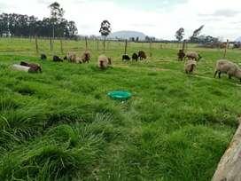 Hermoso lote de ovejas