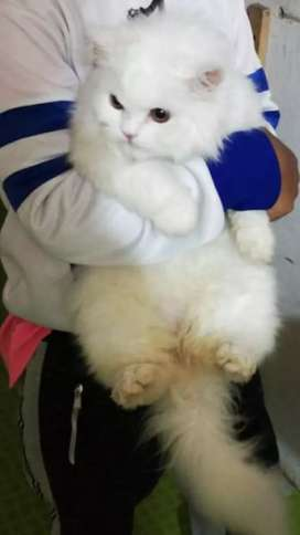 Gato Persa Siberiano Busca Novia