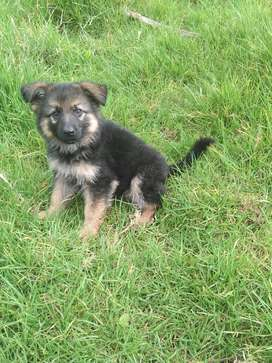 Hermoso cachorro pastor alemán