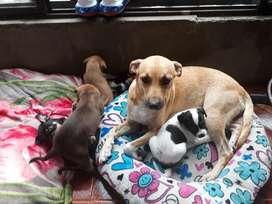 Se Regalan Cachorros Criollos