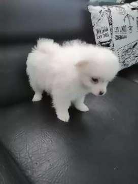 Cachorros pomerania