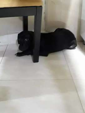 Se regala perra labrador de 6 meses vacunada