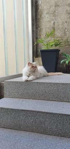 Gato Persa para servicio