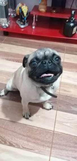 Perro Pug para monta