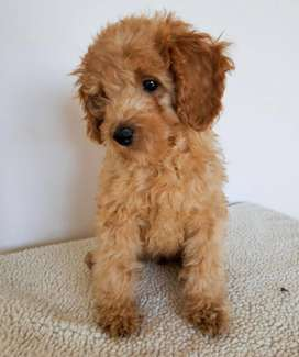 Cachorra Poodle Toy Argentina