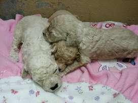 Hermosos cachorros poodle legítimos