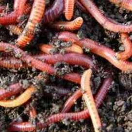 Lombrices californianas coloradas