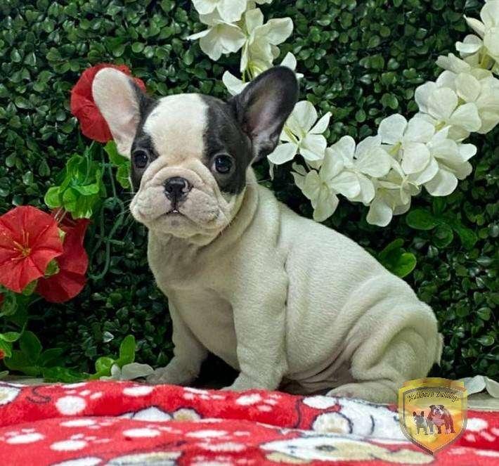 Hermosos Cachorros Bulldog Frances * Feria*de Nutibara Bulldogs