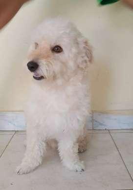 French poodle busca novia