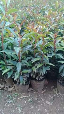 Semillas de Eugenio y plantas para cercos en Medellin
