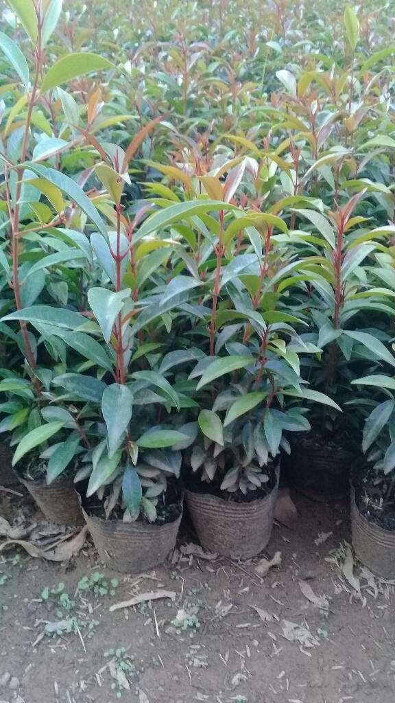 Semillas de Eugenio y plantas para cercos en Medellin 0