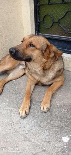 Se da en adopción perrito de un año y medio
