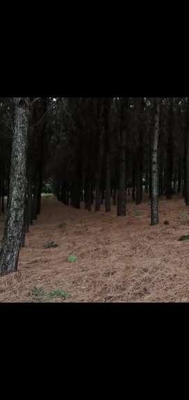 Vendo 1 hectárea de tierra con pino