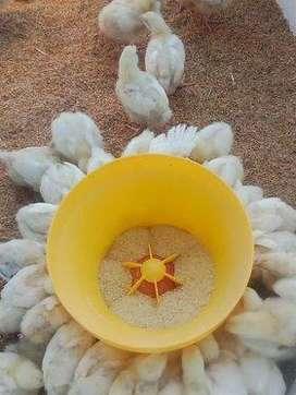 Venta de pollitos bbs y pollos grandes de carne