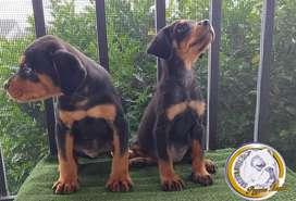 Rottweiler pareja dos meses y medio