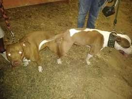 Pitbull cachorros. Próximamente  disponibles!!