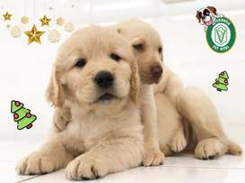 CACHORROS HERMOSOS GOLDEN RETRIEVER*BEAGLE*LABRADOR*CHOW CHOW*SAMOYEDO*BICHON MALTES*SAN BERNARDO*PUG* EN PET VITAL !!!