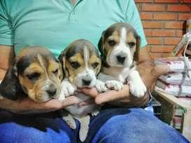 Beagle súper bonitos