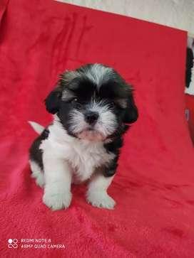 Cachorro shitzu totalmente mini