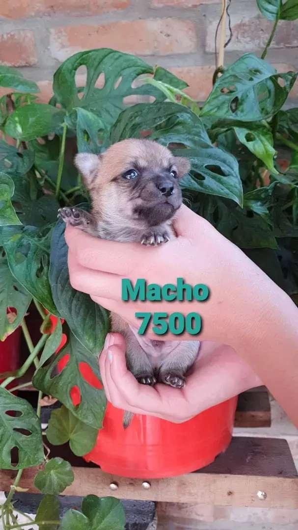 Chihuahua macho 0