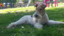 Fox terrier macho pelo duro