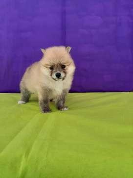 Pomerania lulu mini de mayor genetica