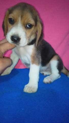 Tenemos Tu Dog Beagle raza todas
