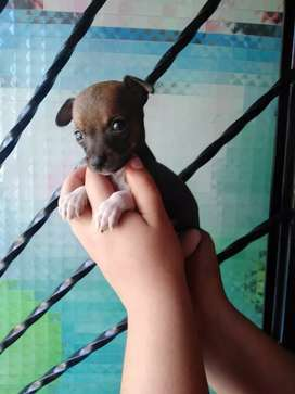 *Cachorros Pinchér mini bolsillero*