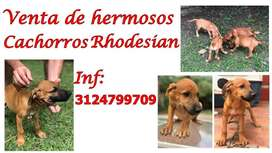 Vendo Cachorros Rhodesian Ridgeback Puro