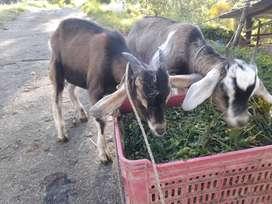 Cabro y cabra lechera jóvenes