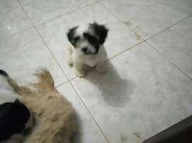 Shitzu 2 meses
