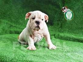 Bulldog Ingles bellos cachorritos en Peru !!