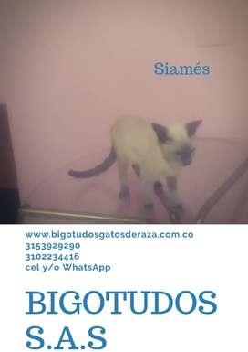 Gato Siamés BIGOTUDOS S.A.S