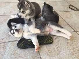 Cachorros lobos Huskys siberianos ojos azules disponibles