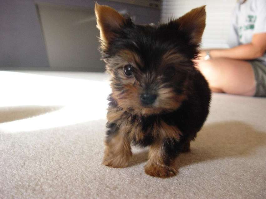 yorkshire terrier pedigree A 0