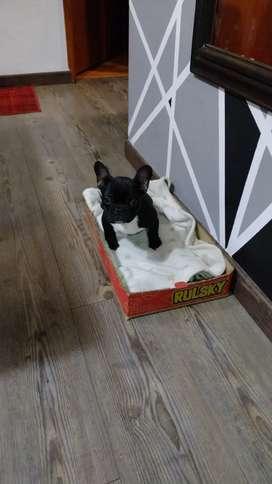 Vendo bulldog francés de 4 meses con 2 vacunas color negro