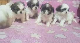 Vendo hermosos cachorros chitzu toy