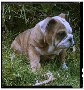 Bulldog ingles disponible