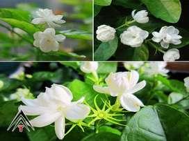 Ambientador natural, Decoración ornamental 20 semillas de jazmín del cabo planta hogar jardín bonsai flor  C617