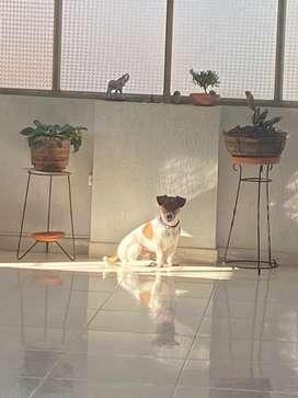 Perro para montar raza Jack Rusell Terrier