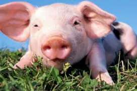 "Vendo lechones ""cerdos"""