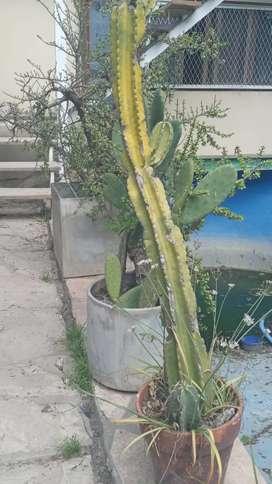 2 Macetones c Cactus