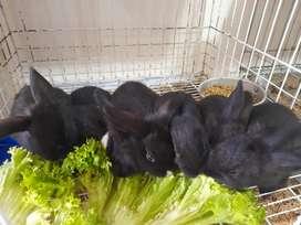 Conejos res