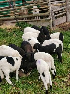 Ovejos y corderos