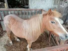 Vendo Muleto pony exótico  albino