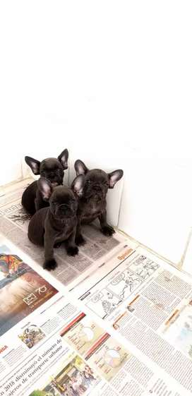 Divinos Bulldog Frances Blue triple carrier son EXOTICOS