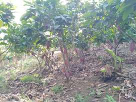 Vendo finca agricola de 4 cuadras 2 plantadas de cacao