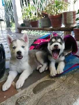 Lobos husky siberianos