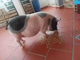 Vendo mini pigs